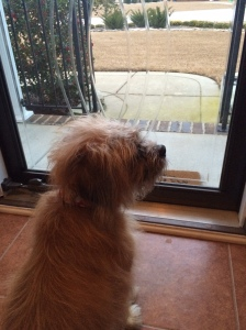 "Sadie watching the neighborhood kids go to and from school! Sweet pup loves to ""people watch""!"